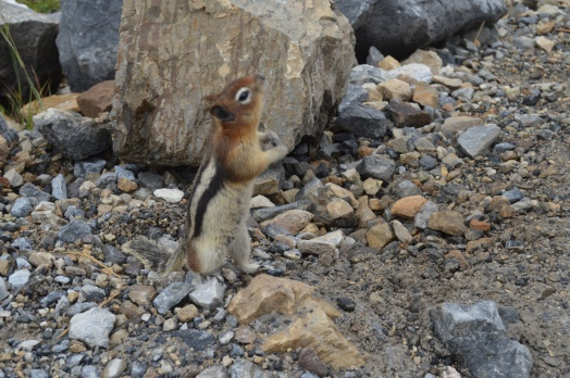 Chipmunk on Six Glaciers Trail